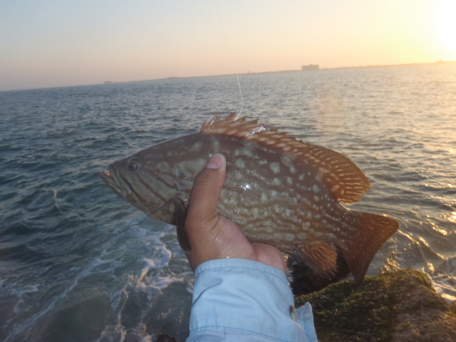 Grouper caught at Packery Jetty