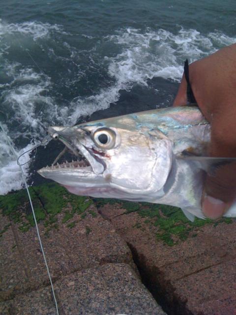 Spanish mackerel caught at Packery Jetty