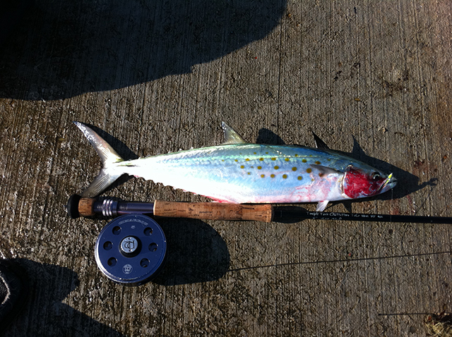 Don Alcala Spanish mackerel fly fishing